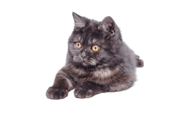 British shorthair cat with smoky fur