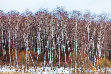 Birch Forest with Snow at Winter