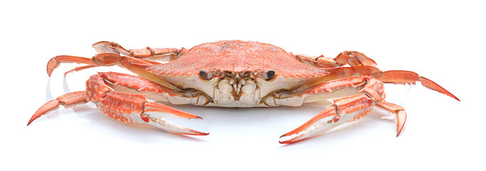 horse crab isolated on white