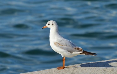 Seagull standing isolated