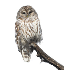 Barred Owl in Winter on White Background