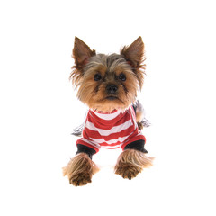 Portrait Puppy Yorkshire Terrier