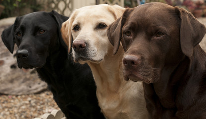 three colours of labrador