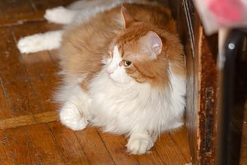 Red cat lying on parquet floor