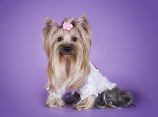 Yorkshire terrier in a dress isolated on a purple background