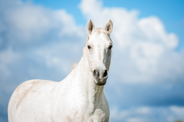 Wall Mural - Portrait of white horse on blue sky background