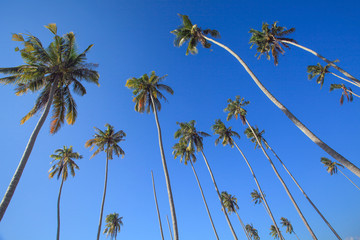 coconut trees which flourish with blue sky