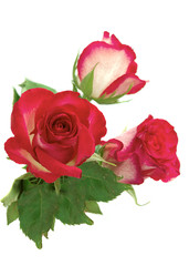pink roses with green  leaf