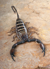Yellow Banded Flat Rock Scorpion.