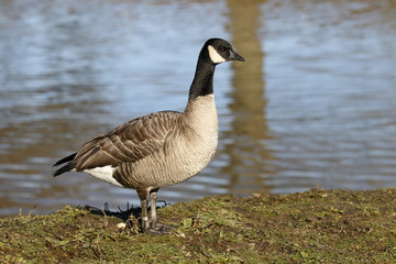 Richardsons Canada goose, Branta hutchinsii hutchinsii