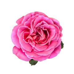 Pink Rose Flower isolated on white background. illustration