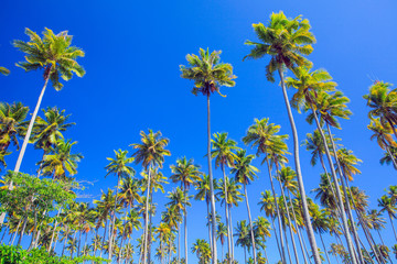 coconut trees that thrives on an island