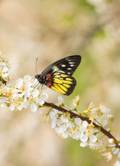 butterfly on the plum