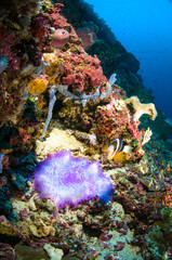 soft coral bunaken sulawesi indonesia anemone underwater