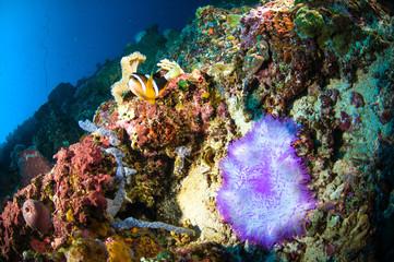 soft coral bunaken sulawesi indonesia anemone underwater photo