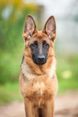 Portrait of young german shepherd dog