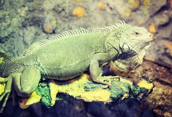 Grown up green iguana in terrarium