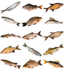 Collection of fresh water fish living in Dnipro river