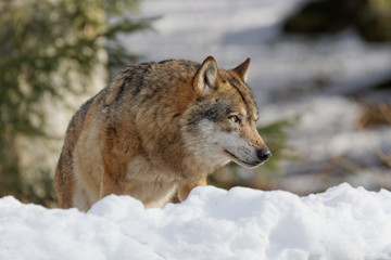 Wolf ( canis lupus )