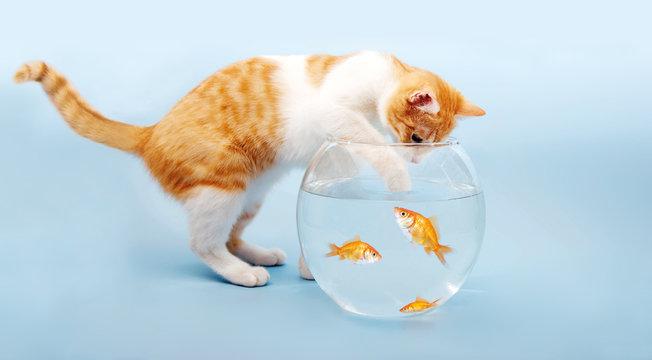 Katze fischt in Goldfischglas