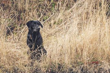 Black Labrador in Field