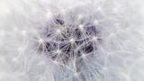 White Dandelion Flower Parachutes Macro (16:9 Aspect Ratio)