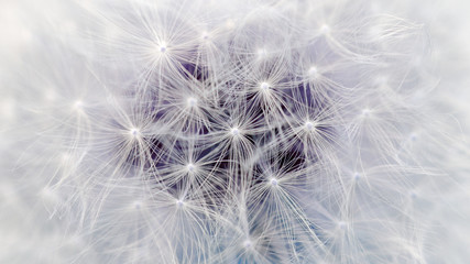 White Dandelion Flower Parachutes Macro (16:9 Aspect Ratio)