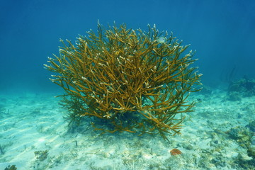 Colony of Staghorn coral Acropora cervicornis