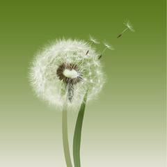 Dandelion seed head [ blow ball ]