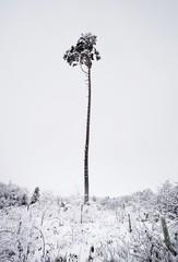 tall pine tree in winter