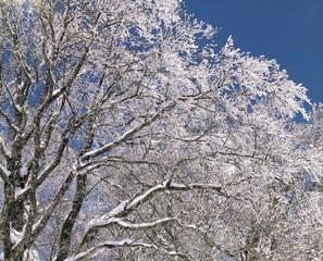 눈꽃과 나무