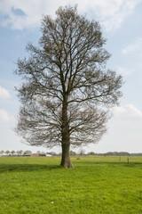 Large budding tree in the spring season