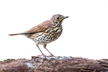 Song thrush on white