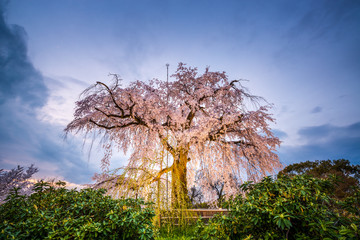 Maruyama Park in Kyoto, Japan during the spring