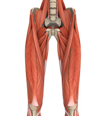 Upper Legs Muscles Anatomy
