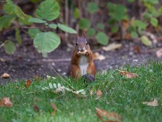 Squirrel (Sciurus vulgaris)