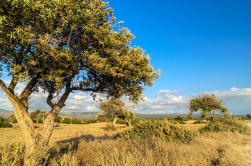 Olive tree on drought meadow