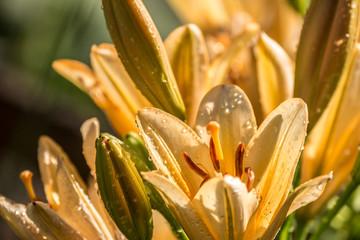 Yelow Lilies