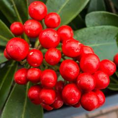Skimmia Japonica Berries