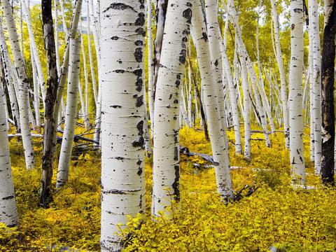 Aspen Forest - Autumn Foliage