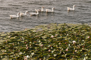 flock of domestic geese on lake