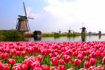 Pink tulips with Dutch windmills along a canal, Netherlands