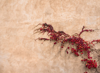 Red ivy on old wall