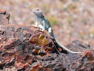 Lizard on Petrified Wood