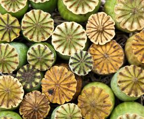 Opium poppy seed capsule..