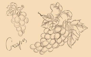 grapes fruit set. vector sketches