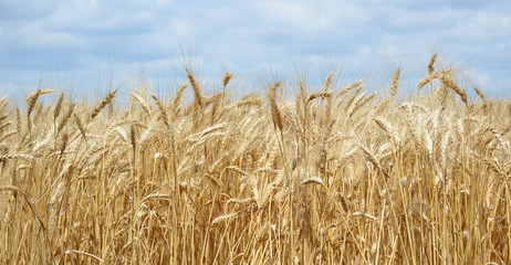 Golden Wheat Field with ripe ears of corn