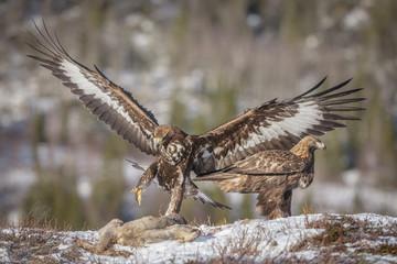 Golden eagle siblings