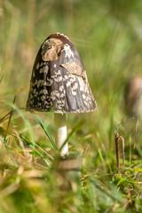 Shaggy ink cap (Coprinus comatus)