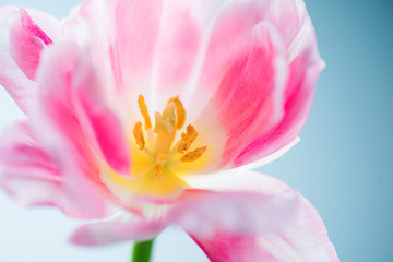 Fotoväggar - Beautiful spring flower closeup. Beauty macro tulip art design